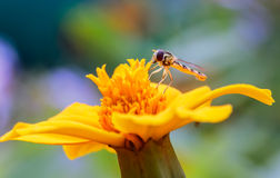 Asilidae. On a flower on a colored background Royalty Free Stock Photography