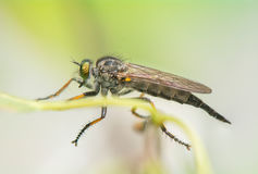 Asilidae Foto de Stock Royalty Free