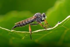 Asilidae da mosca de ladrão Foto de Stock Royalty Free