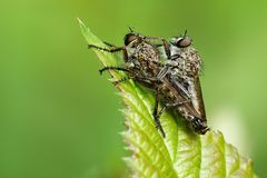 Asilidae. The fly of the family Asilidae, mating Stock Image