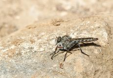 Asilidae fly species standing on sunny rocks detail. Asilidae fly standing on the ground over a rock in a forest in the spanish island of mallorca Royalty Free Stock Photos
