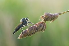 Asilidae. In the grass, summer season water drops Stock Photo