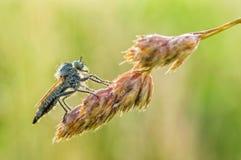 Asilidae. In the grass, summer season water drops Royalty Free Stock Photos