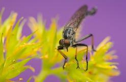 Asilidae. Insect - Asilidae Stock Photos