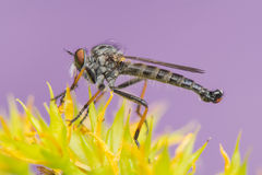 Asilidae. Insect - Asilidae Stock Photo