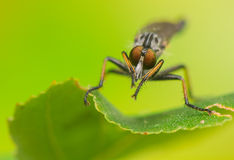 Asilidae Royalty Free Stock Photos