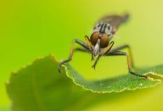 Asilidae. Insect - Asilidae Royalty Free Stock Photos