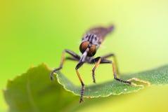 Asilidae. Insect - Asilidae Royalty Free Stock Images
