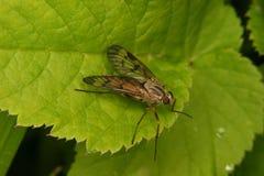 asilidae komarnicy rabuś Obraz Royalty Free