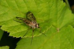 asilidae komarnicy rabuś Zdjęcia Royalty Free