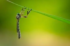 Asilidae. Macro of  a colorful asilidae Royalty Free Stock Photo