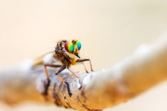 Asilidae Madagascar Zdjęcia Royalty Free