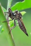 Asilidae Royalty Free Stock Image