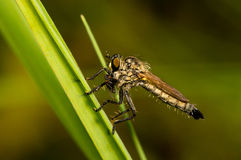 Asilidae with prey sitting on a blade of grass. Close-up photo of asilidae with prey which sits on a blade of grass Royalty Free Stock Image
