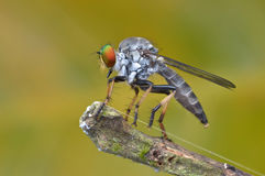 Asilidae - rabuś komarnica Fotografia Royalty Free