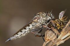Asilidae - rabuś komarnica Fotografia Stock