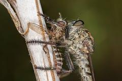 Asilidae - rabuś komarnica Obrazy Royalty Free