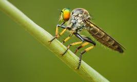 Asilidae (rabuś komarnica) siedzi na ostrzu trawa Zdjęcie Stock
