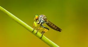 Asilidae (rabuś komarnica) siedzi na ostrzu trawa Tajlandia Obraz Royalty Free