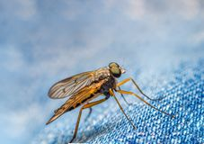 Asilidae robber fly also called assassin flies powerfully built bristly with a short stout proboscis royalty free stock photo
