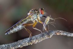 Asilidae - the Robber fly stock photo