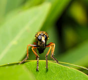 Asilidae Robber fly in face close up Royalty Free Stock Image