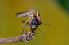 Asilidae - the Robber fly. The robber fly with prey Royalty Free Stock Photos
