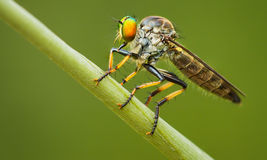 Asilidae (robber fly) sits on a blade of grass Stock Photo