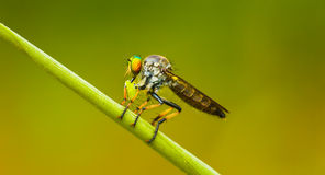 Asilidae (robber fly) sits on a blade of grass. Thailand Royalty Free Stock Image