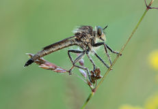 Asilidae. Asilidae sits on a blade of grass Royalty Free Stock Images
