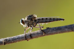 Asilidae on the twig Royalty Free Stock Photo