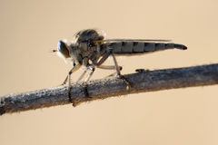 Asilidae on the twig. Closeup of the nature of Israel - asilidae on the twig Stock Photography