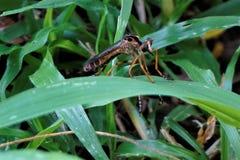 Asilidaefamilien-Räuberfliege in Costa Rica lizenzfreie stockfotografie
