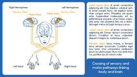 Asimmetria biologica Schema di vettore Corpo e cervello Fotografia Stock