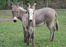 Asina e bambino Jack Mini Donkeys Immagini Stock Libere da Diritti