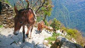 Asini della montagna Fotografia Stock