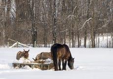 Asini e scena di inverno del cavallo Immagini Stock