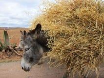 Asini nel Perù rurale. Immagine Stock