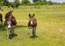 Asini selvaggi al delta di Okavango nel Botswana immagine stock libera da diritti