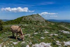 Asino Amiatino,吃草在登上Labbro马属af的驴 免版税库存图片