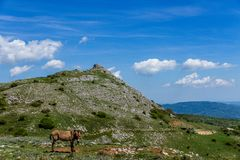 Asino Amiatino,吃草在登上Labbro马属af的Amiatino驴 免版税库存图片