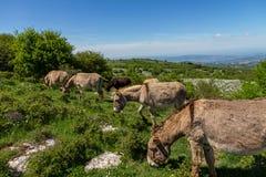 Asino Amiatino,吃草在登上Labbro马属af的Amiatino驴 库存照片