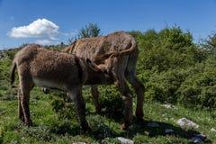 Asino Amiatino,吃草在登上Labbro马属af的Amiatino驴 免版税图库摄影