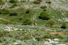 Asino Amiatino,吃草在登上Labbro马属af的Amiatino驴 库存图片
