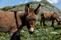 Asino Amiatino, Amiatino åsna som betar på den monteringsLabbro equusen af Royaltyfria Foton