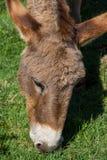 Asino Amiatino, Amiatino Donkey Grazing On Mount Labbro Equus af. Ricanus asinus Royalty Free Stock Image