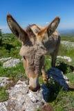 Asino Amiatino, burro de Amiatino que pasta en el Equus af de Labbro del soporte foto de archivo