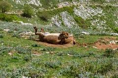 Asino Amiatino, burro de Amiatino que pasta en el Equus af de Labbro del soporte imagen de archivo libre de regalías