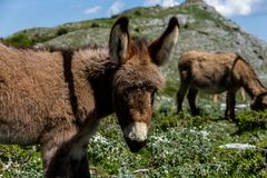 Asino Amiatino, Amiatino osła pasanie Na góry Labbro Equus af Zdjęcia Royalty Free