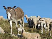 Asino dei pastori nella grande moltitudine con migliaia di pecore Immagini Stock Libere da Diritti